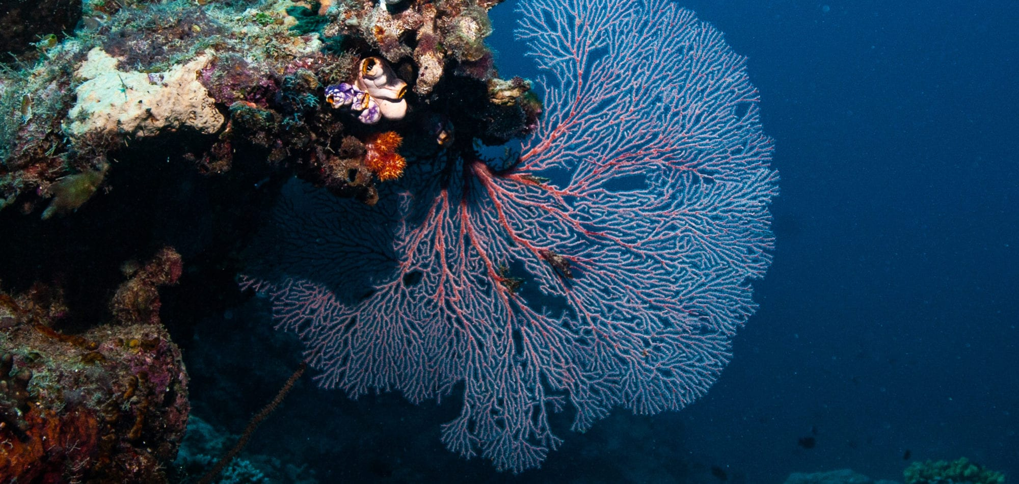 Fan Coral, The Great Barrier Reef