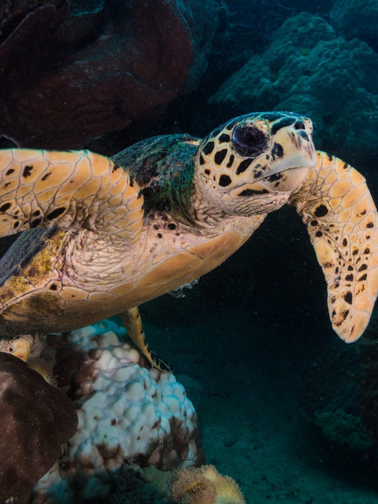 Cairns dive certification - turtle on the Great Barrier Reef