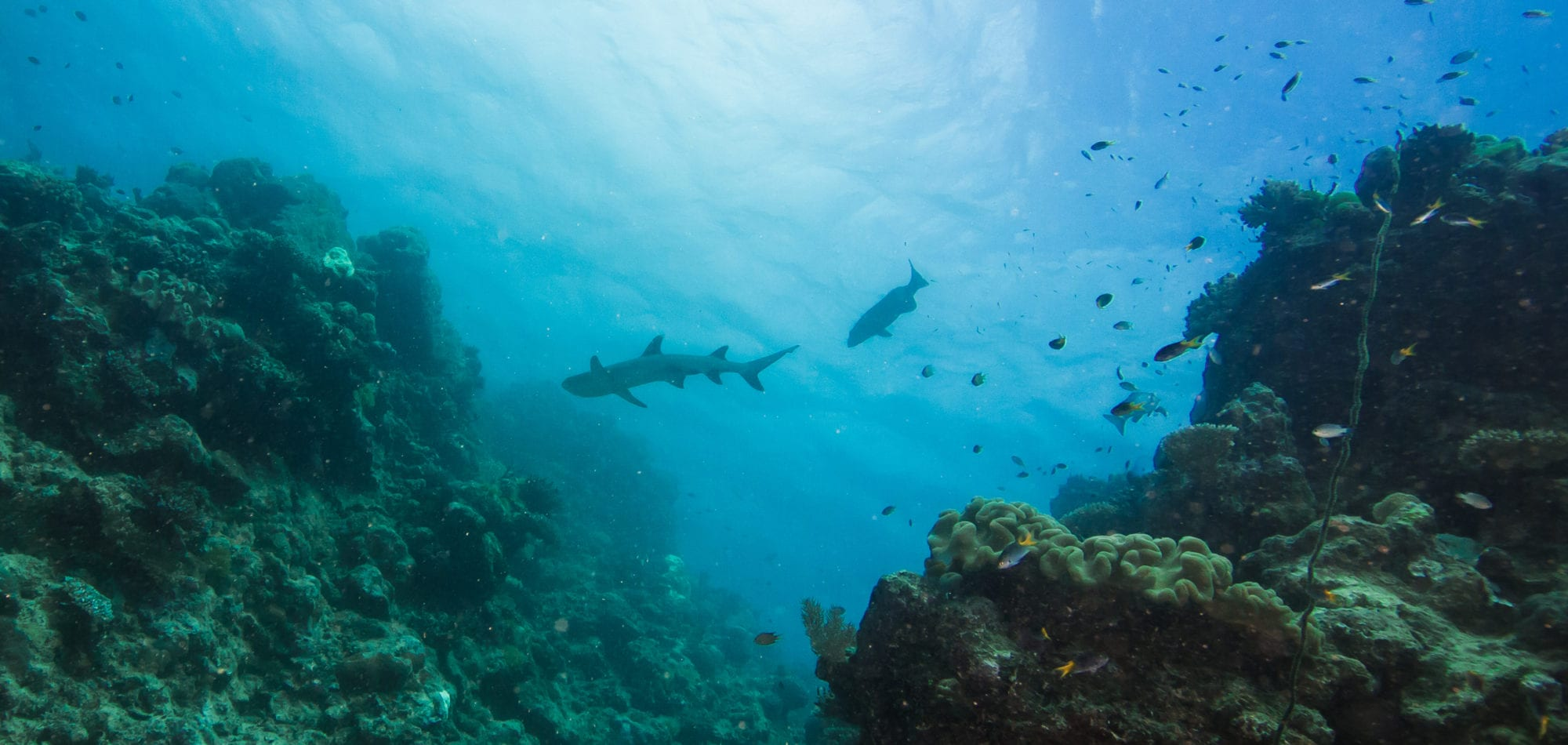 Cairns dive certification - reef sharks on the Great Barrier Reef