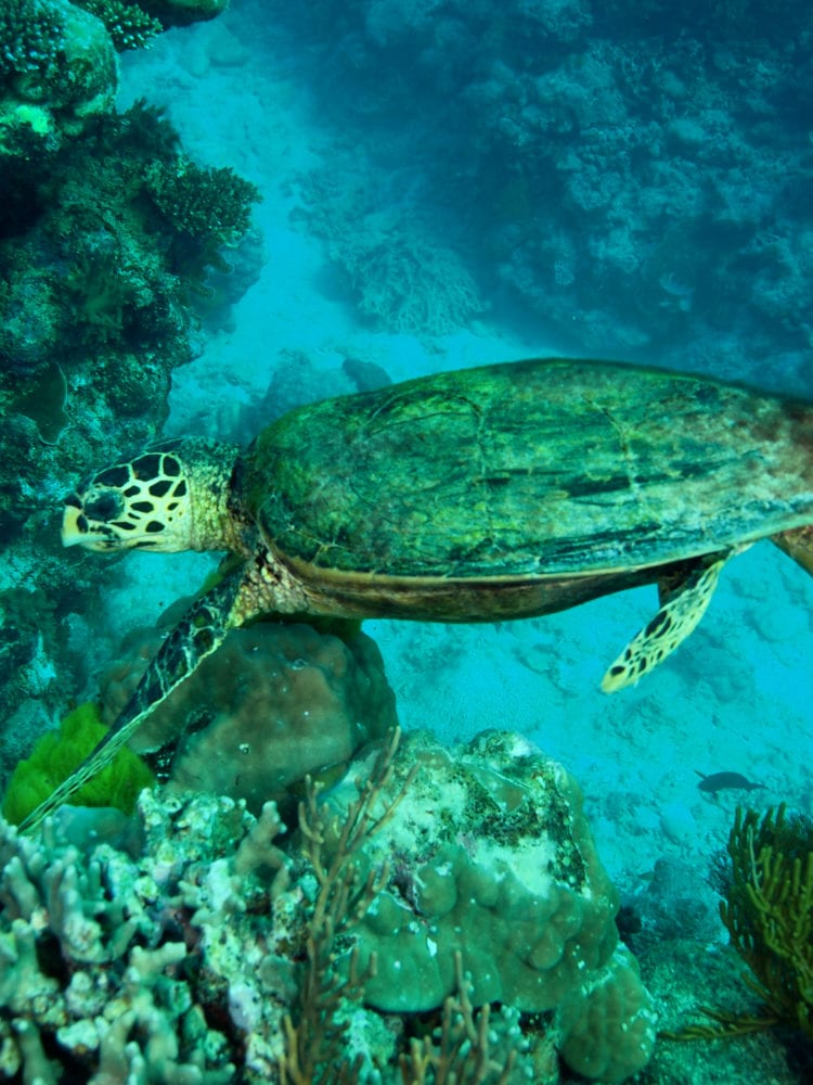 Green Turtle - Great Barrier Reef