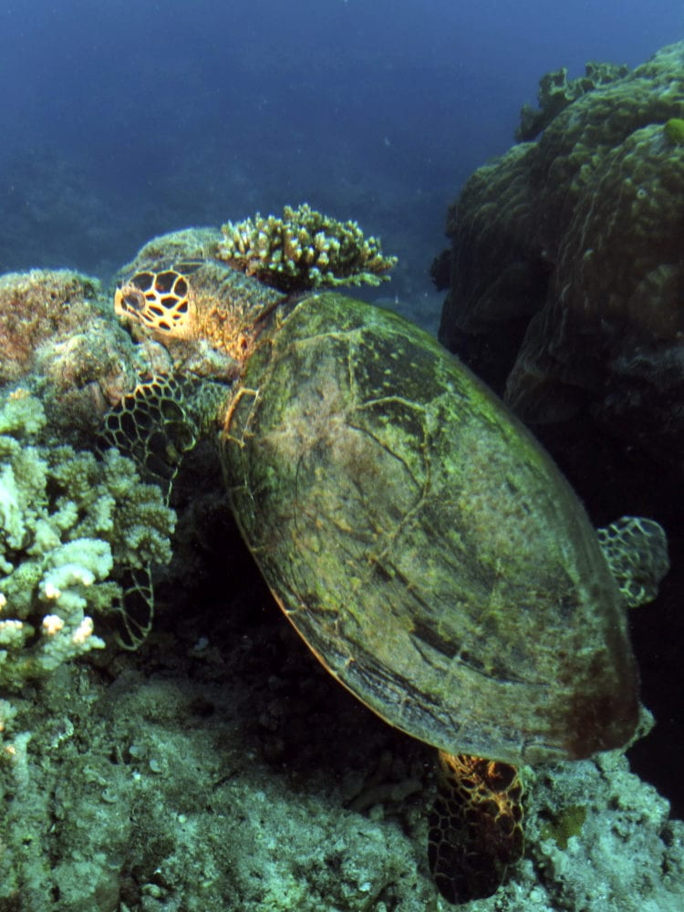 Cairns liveaboard scuba diving - scuba diving in Queensland with a Hawksbill Turtle