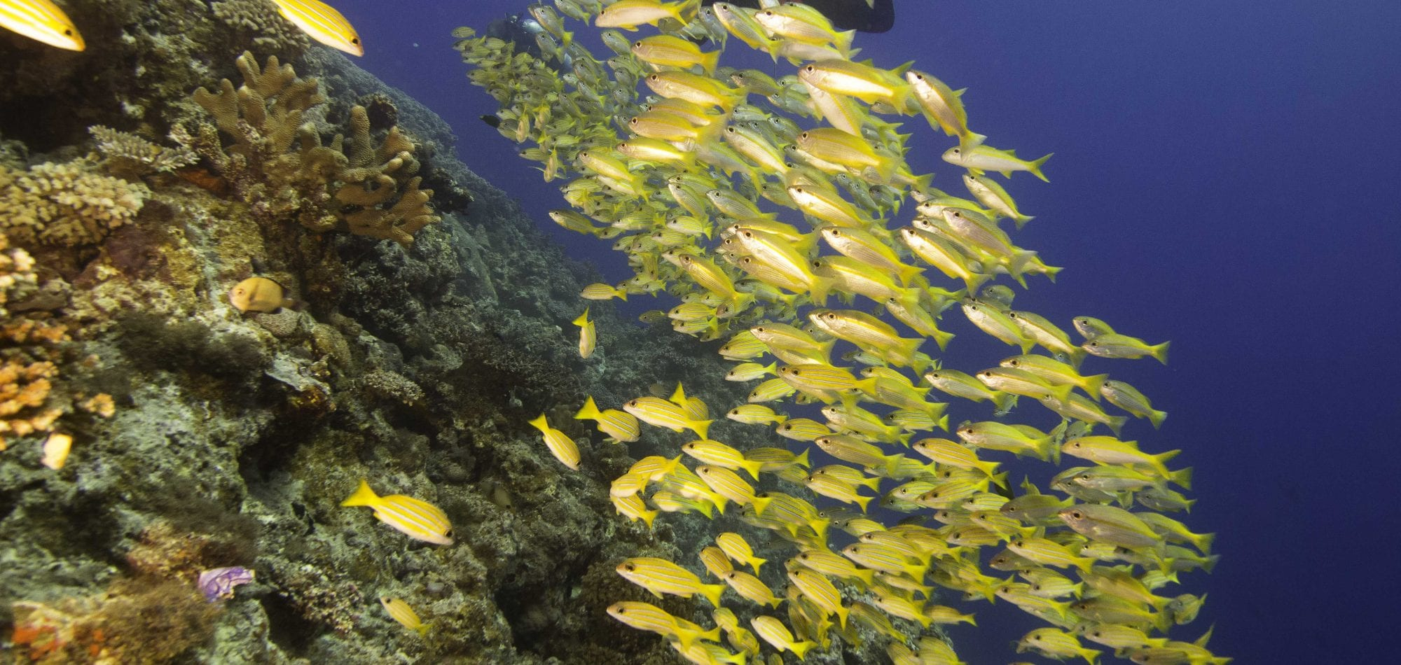 Ribbon reefs dive holiday in Australia - School of Yellow Tail Fish