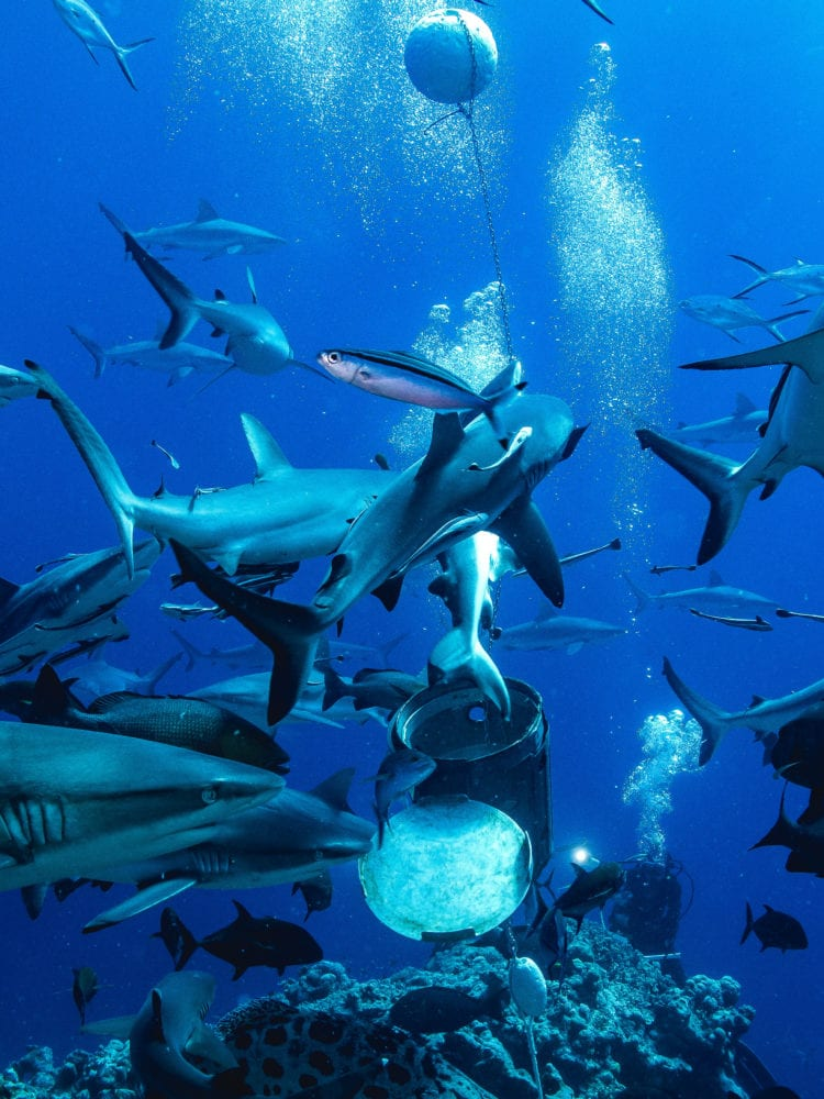 Mike Ball dive holiday - underwater image of school of reef sharks