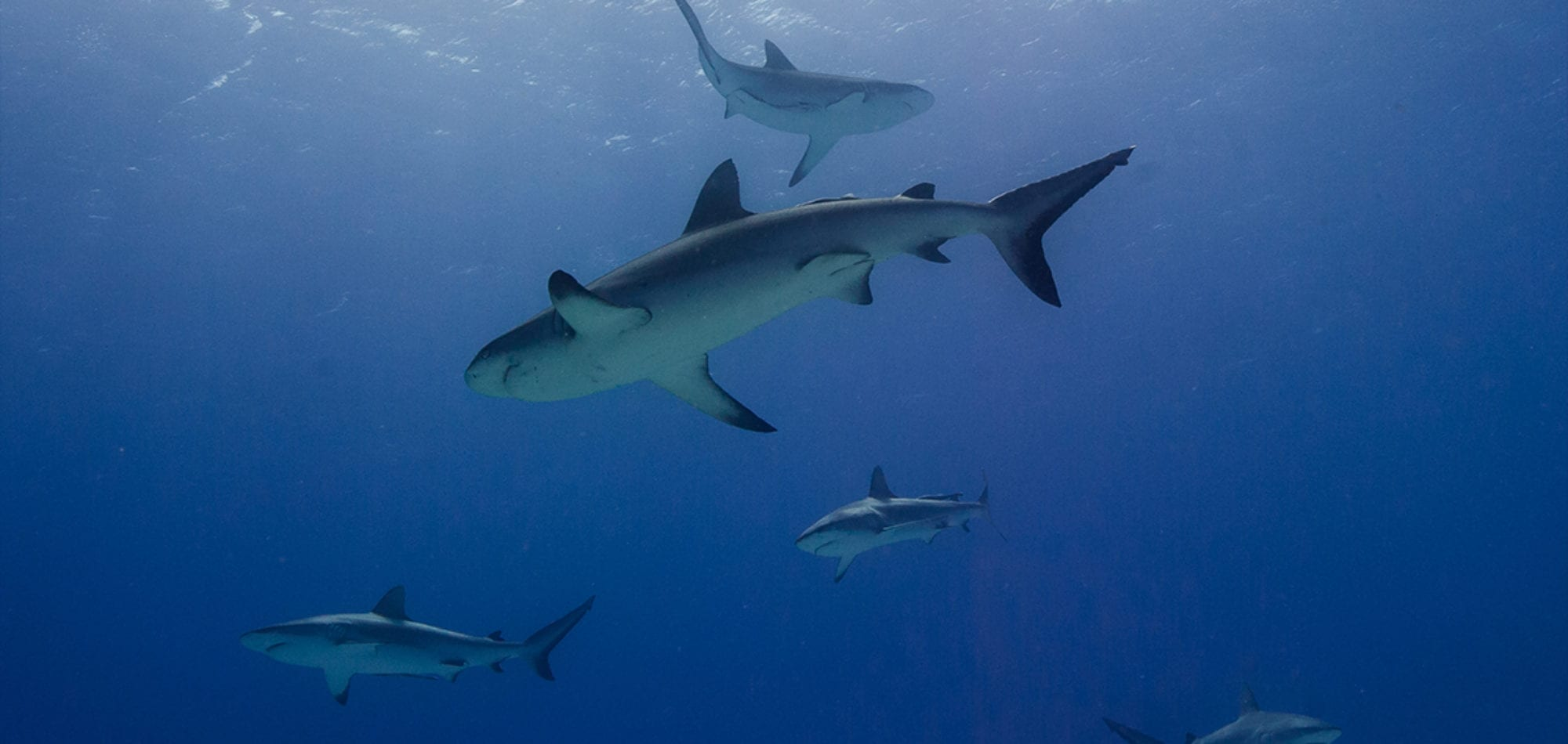 Cairns liveaboard scuba diving - scuba diving with reef sharks on the Great Barrier Reef