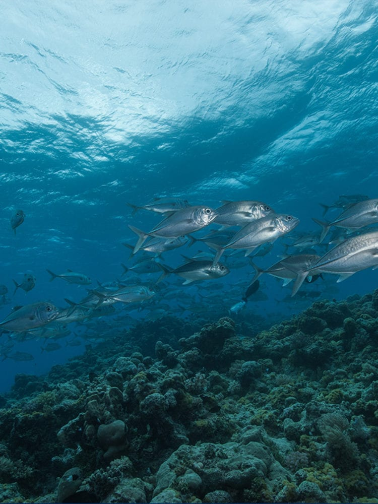Cairns liveaboard scuba diving - school of trevally fish on the Great Barrier Reef, Queensland