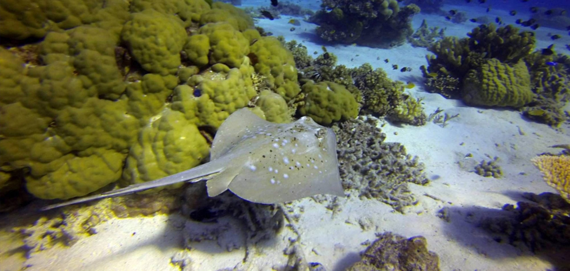 Sea Esta - Stingray