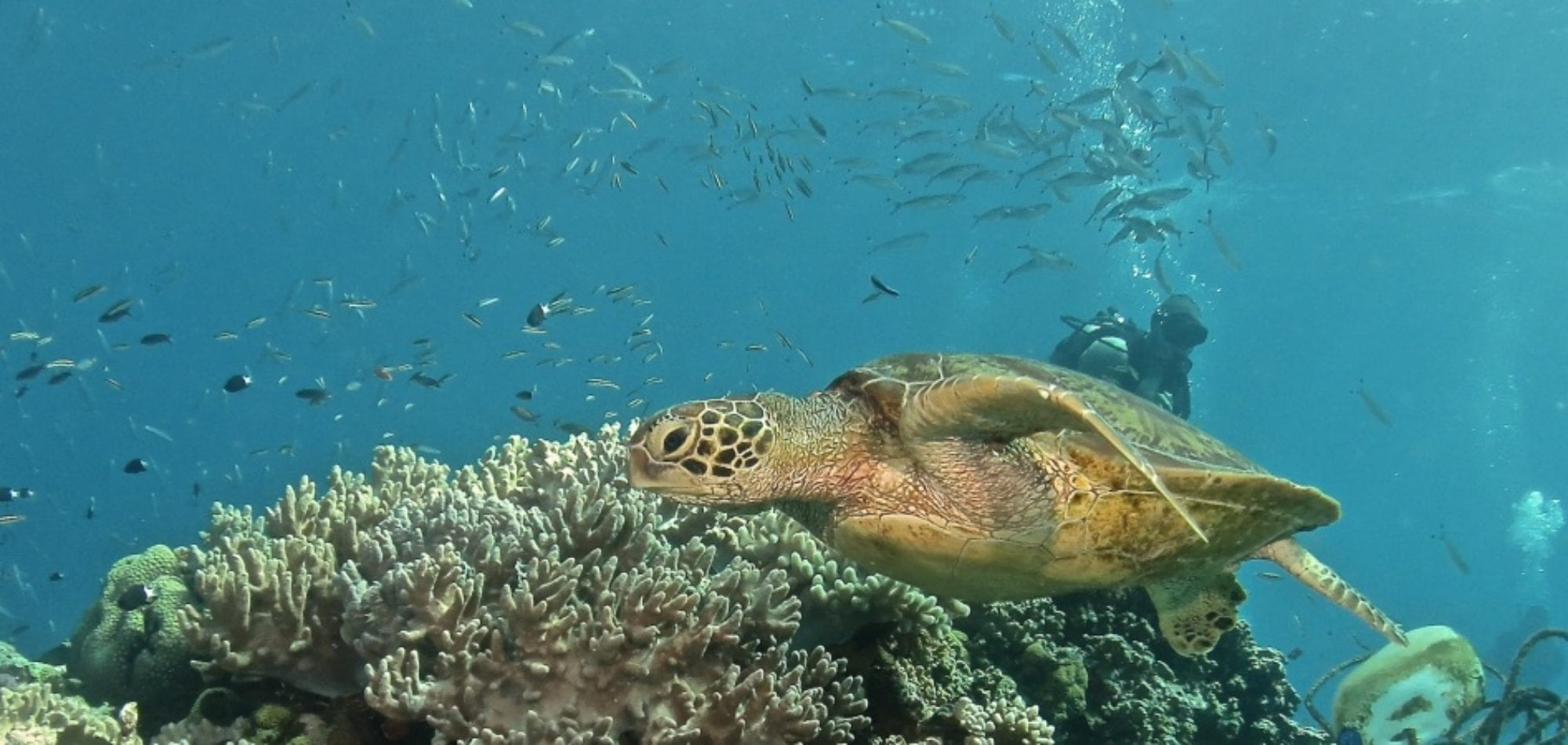 Hawksbill Turtle on the Great Barrier Reef