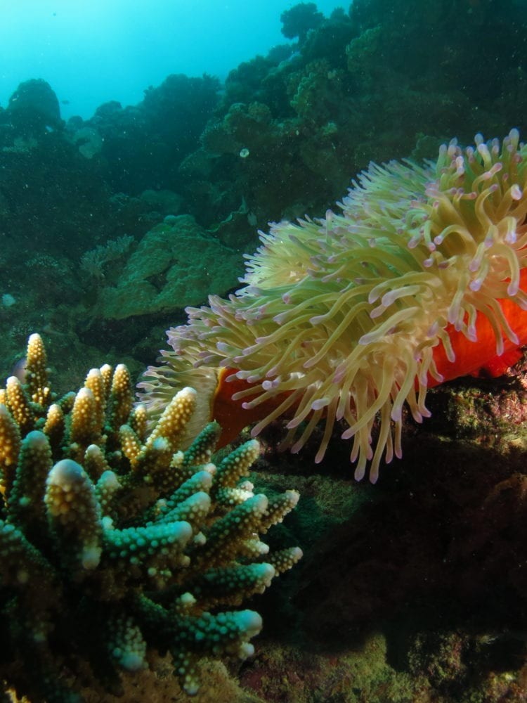 Whitsundays scuba diving and snorkelling - underwater image of coral