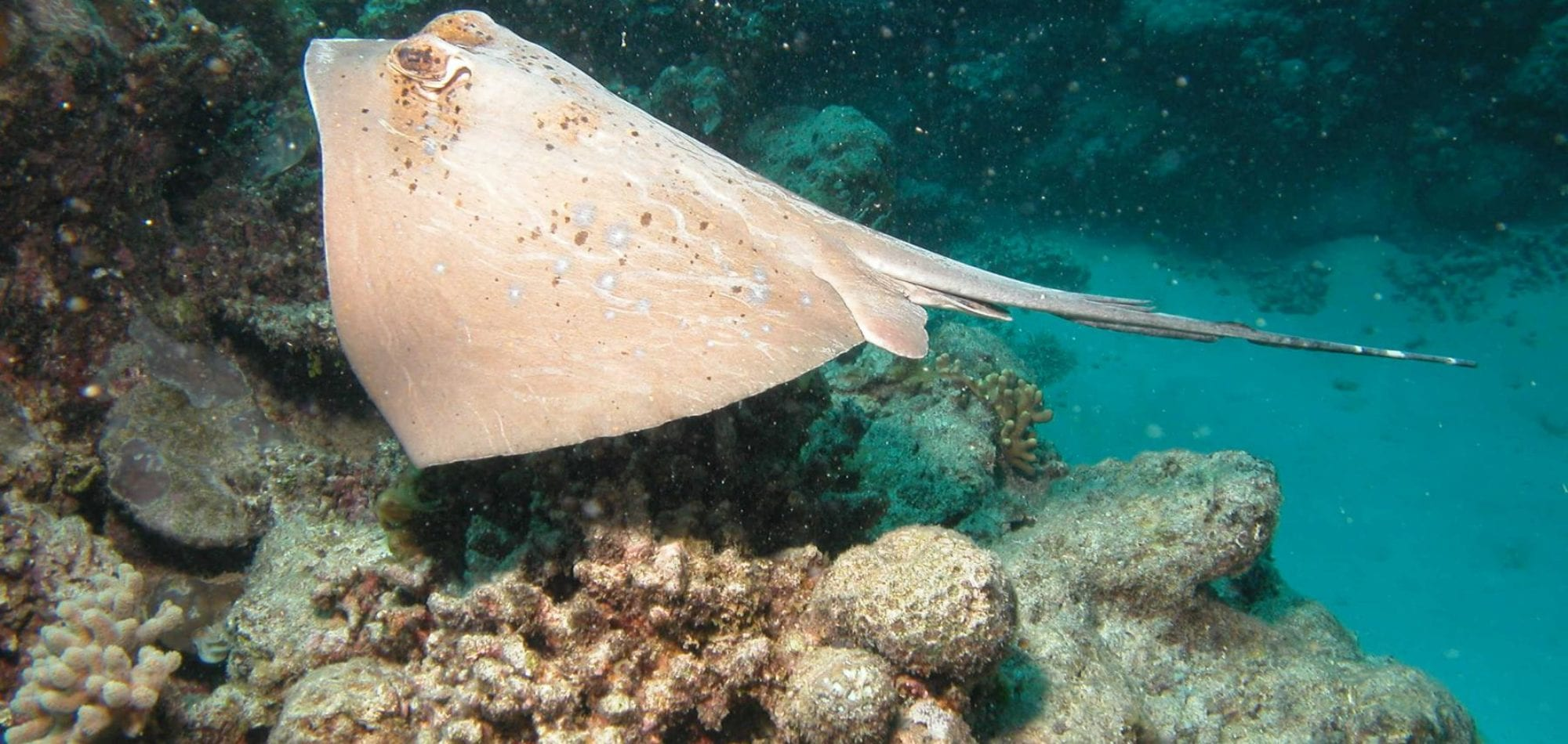 Cairns dive certification - Blue spotted lagoon ray on the Great Barrier Reef