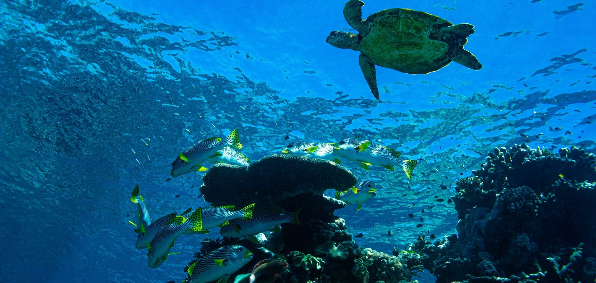 Cairns scuba diving day tour - a turtle and fish at the Great Barrier Reef