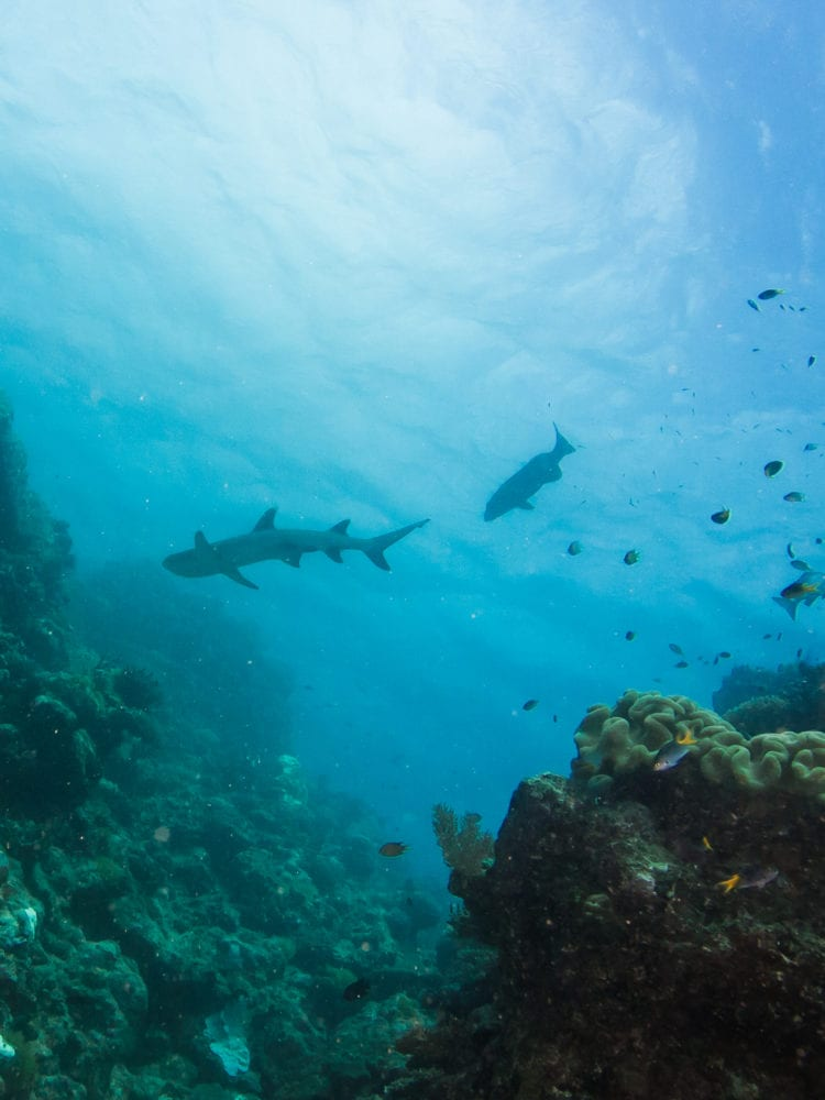 Cairns day trip - reef shark on the Great Barrier Reef