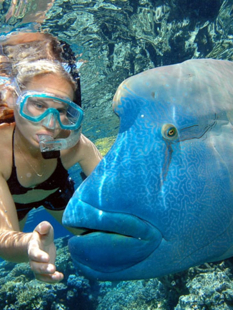 Cairns day trip - snorkeller with Mauri Wrasse