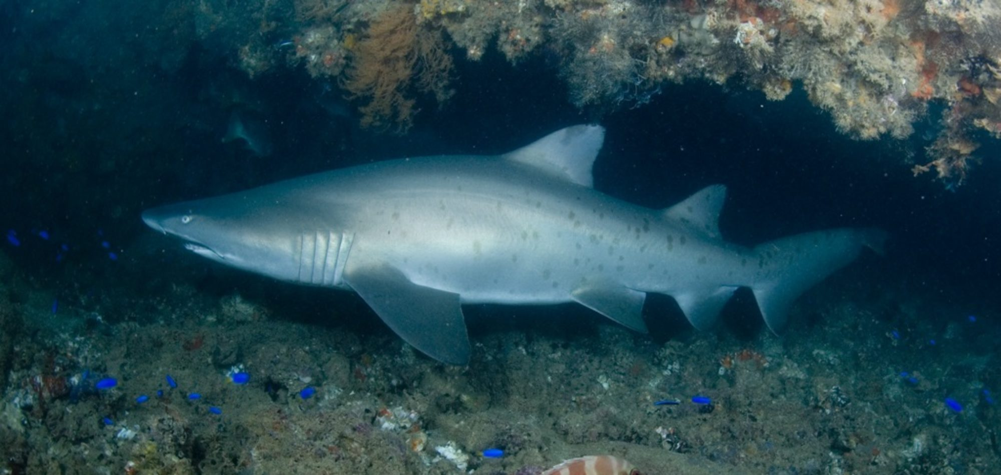Navy Pier - Grey Nurse Shark