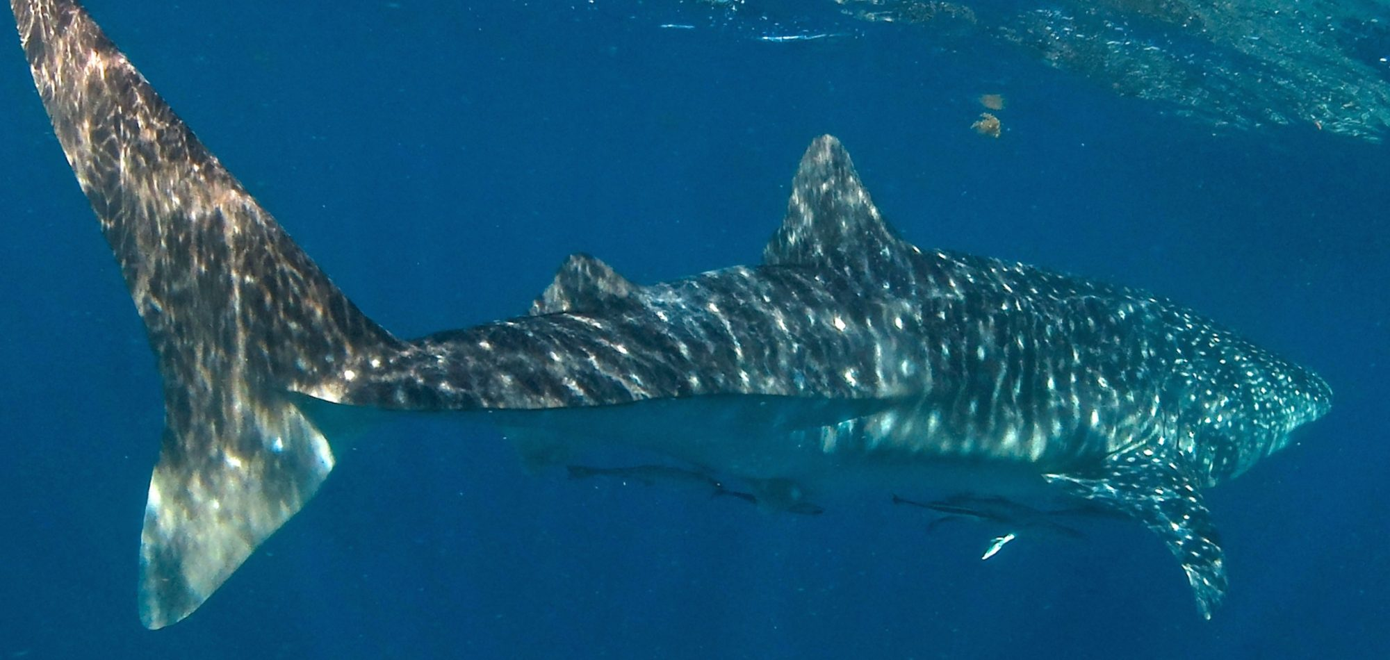 Ningaloo Reef - Whale Shark
