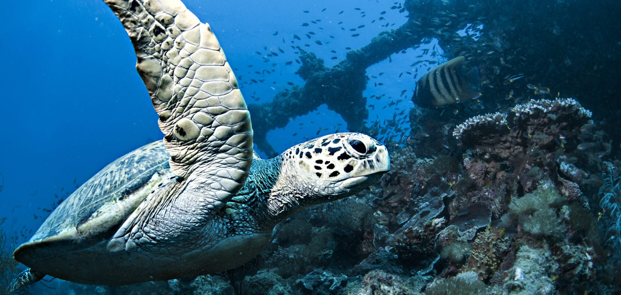 Scuba dive Australia - Hawksbill Turtle on the Yongala Shipwreck