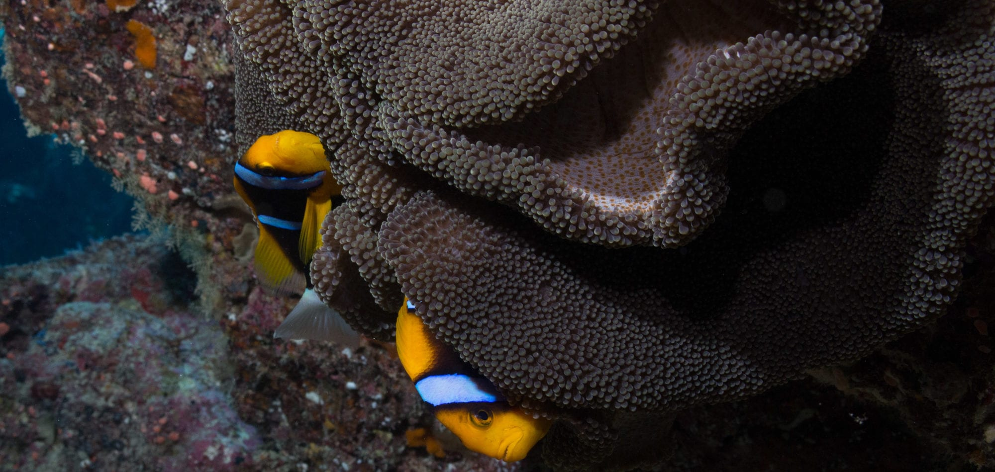 Clown Fish - Great Barrier Reef