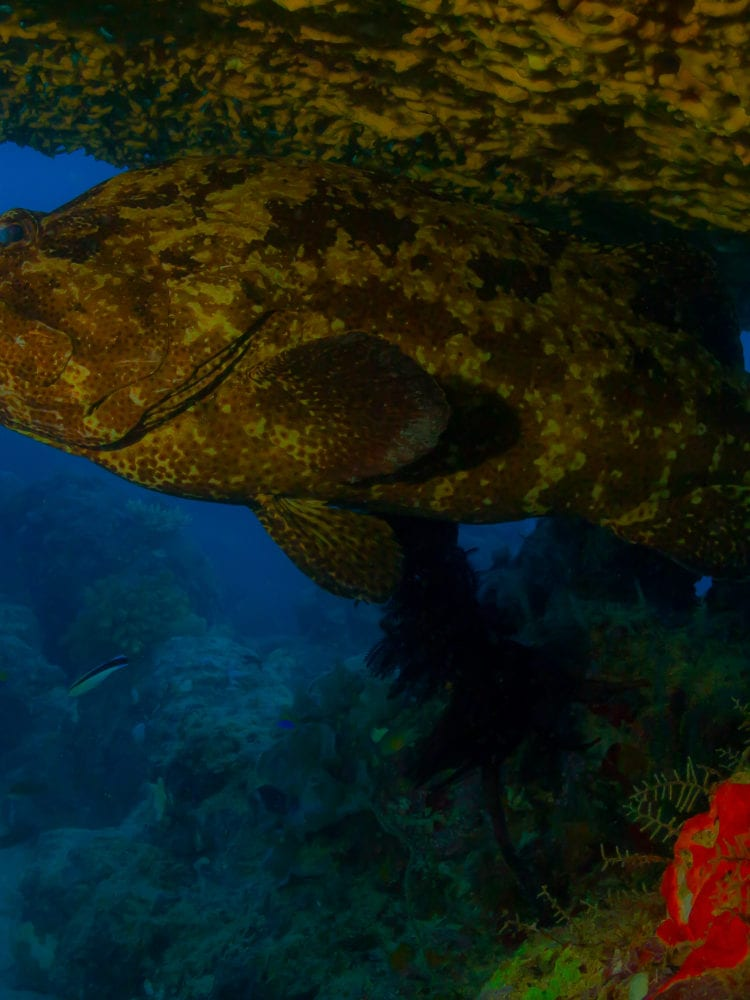 Potato Cod - Ribbon Reefs