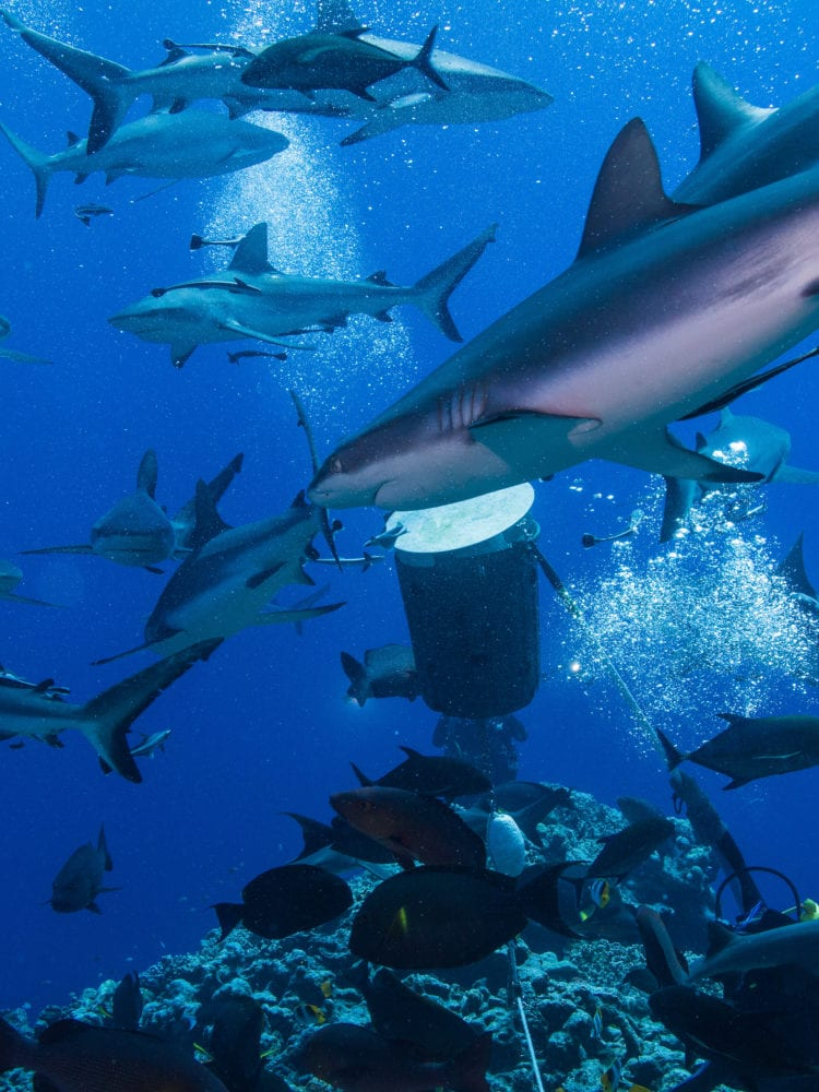 Sharks in the Coral Sea