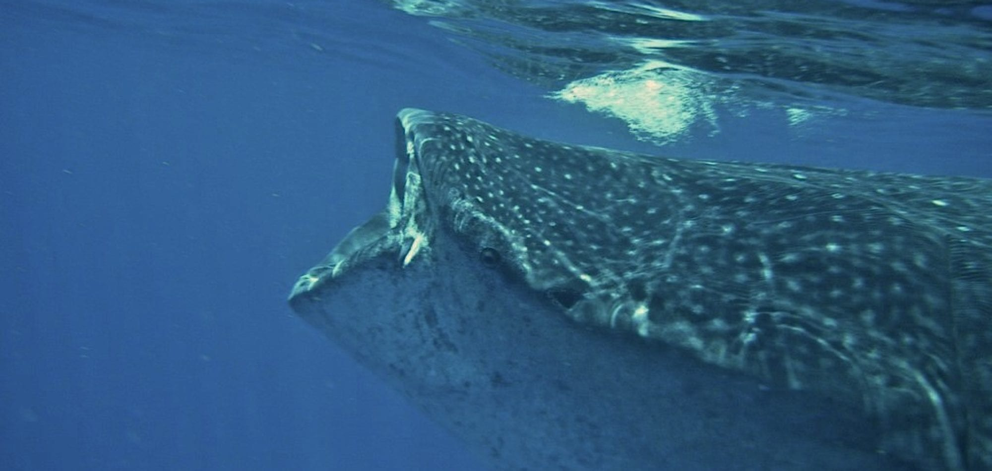 Whale Shark - Ningaloo Reef